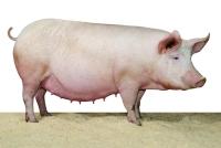 Зафиксирована вспышка африканской чумы свиней