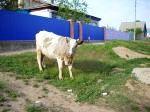 Основной производитель молока