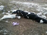 Несанкционированный скотомогильник