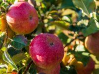 Инвестпроект «Яблоневый сад» начал приносить доходы